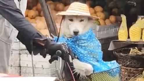 老爷爷给狗狗穿了雨衣,还是担心它淋湿,小草帽出场时太萌了!
