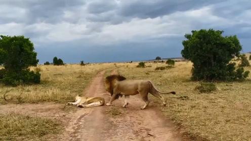 母狮正放心大胆的睡觉,突然被雄狮一口咬在身上,下一秒意外发生
