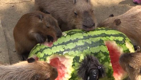 """日本种出100斤巨型西瓜,7只水豚瞬间吃完,画面太""""凶残"""""""
