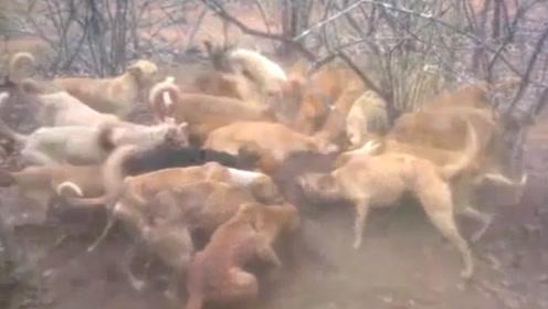 鬣狗误打误撞进了村,立马被一群猎犬包围了,场面太壮观了