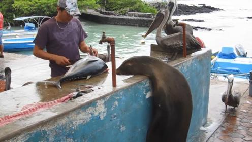 小海狮每天排队一小时蹭鱼吃,刷脸真好,摊主赶都赶不走!