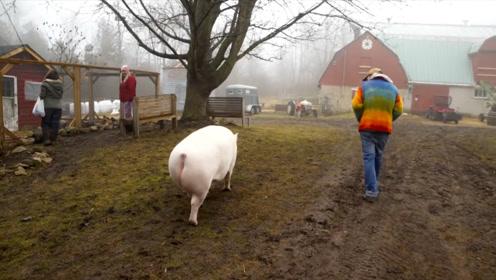 奶奶带大的宠物猪:不吃饲料吃中餐,体重达到400斤,消防员合力救出