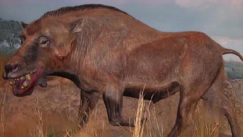 """为什么猪没在进化中淘汰?看看他的""""祖先""""是谁,你就懂了!"""