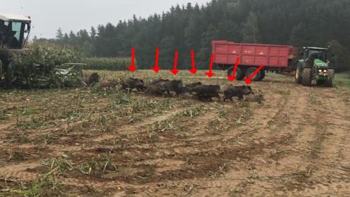农场主收割玉米,听到地里有响声,接下来冲出来一大家子欲哭无泪