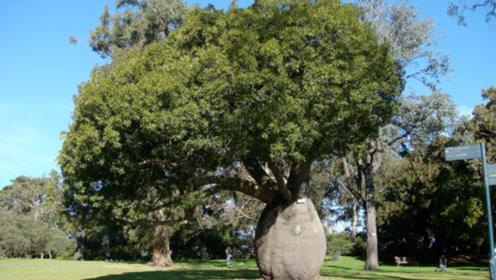 """能储存12吨水的""""瓶子树"""",被中国引进种植,却成为外国人的笑柄"""