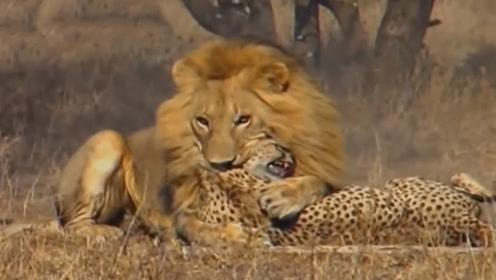 猎豹在草原奔跑速度第一,遇到狮子能赢吗?结果让人很意外