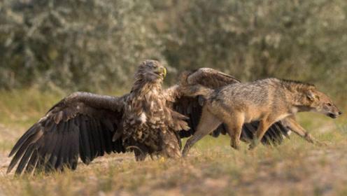 专吃狼的鸟,让凶狠无畏的狼闻风丧胆!听名字就觉得霸气