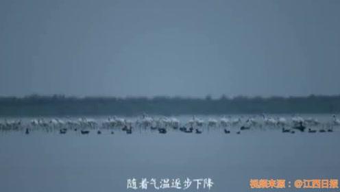 壮观!大批珍禽候鸟陆续抵达江西鄱阳湖越冬