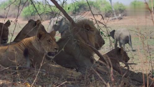 大象最见不得它们的周边有狮子