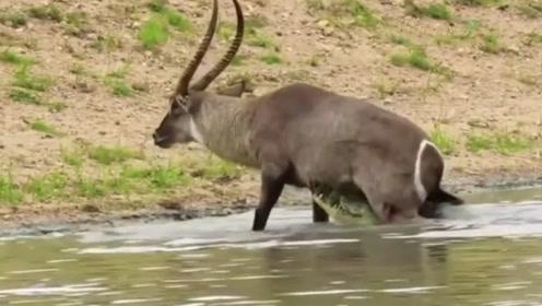 羚羊惨遭鳄鱼捕食,被好心的河马救助,镜头拍下全过程