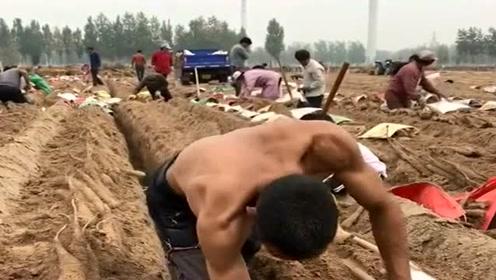 隔行如隔山!挖山药这种技术活,还是农民更专业!