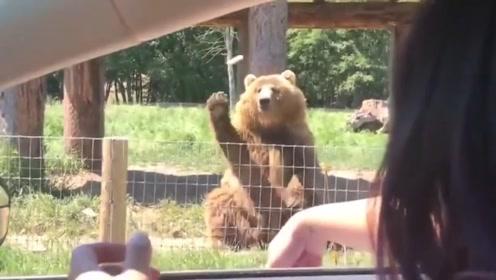 棕熊在路边讨食,游客拿出面包,下一秒请别眨眼