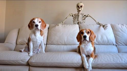 老外用骷髅玩具恶搞狗狗,却被狗狗咬得七零八碎扔出门外,失策了!