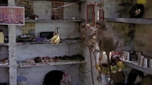 国外猴子泛滥成灾,当地人有苦难言,镜头拍下全过程