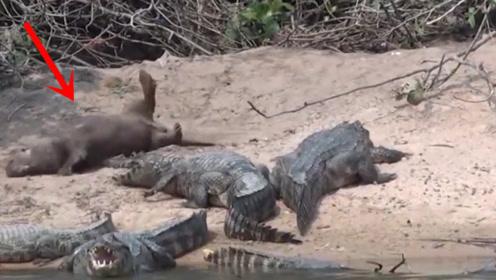 这家伙比平头哥嚣张,直接在鳄鱼旁边睡觉,这是真大佬!