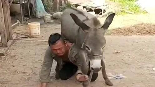 驴的脾气倔!一直只是耳闻,还真没见识过!