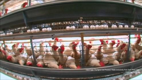 工厂里的鸡蛋和普通鸡蛋有何区别?睁大眼睛看仔细了