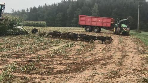 农场主正在收玉米,一大群野猪忽然冲出来,感觉亏大了