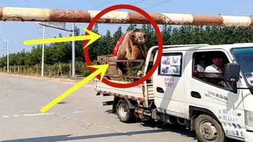 机智骆驼过限高杆,一个举动引得众人爆笑,监控还原全程!