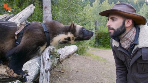 大兴安岭发现比熊猫还稀有的动物,不足50斤,却敢和狗熊抢肉吃