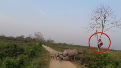 男子爬到树上近距离看犀牛,不料犀牛突然冲过来,镜头记录全过程