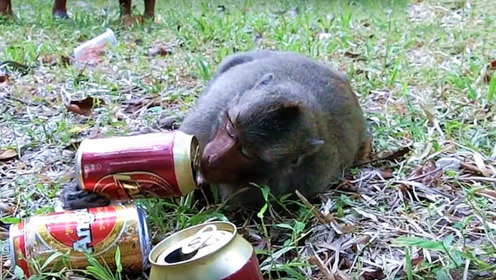 猴子找游客要啤酒喝,喝了三罐后仍意犹未尽,最后一头趴在了地上!