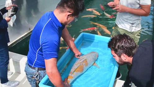头次见这么肥胖的日本大锦鲤,结果引发陌生人前来围观,太养眼了