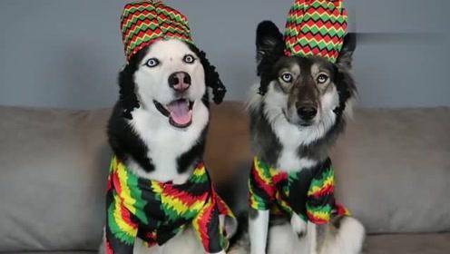 主人给家里狗狗打扮,太逗了