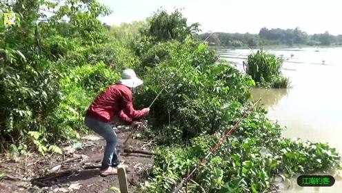 兄弟连河边撒下几根钓竿试钓,一会就是野货连竿