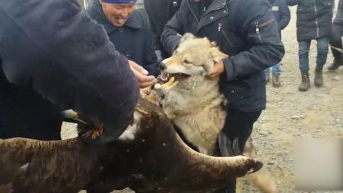 金雕捕食野狼,野狼完全不是对手,嘴巴都差点被抓烂