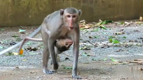 小猴子的尾巴伤到了,看着好像快断了