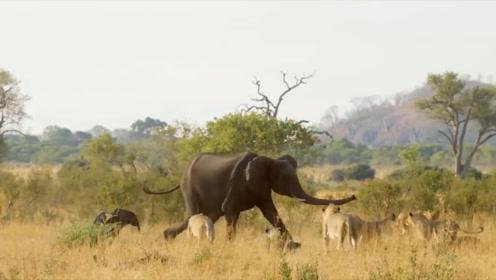 感动!小象意外掉进水槽,象群不顾狮子威胁前来营救