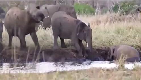 调皮小象不幸落入湖中,象群想尽办法也救不起它,象妈妈的举动让人泪目