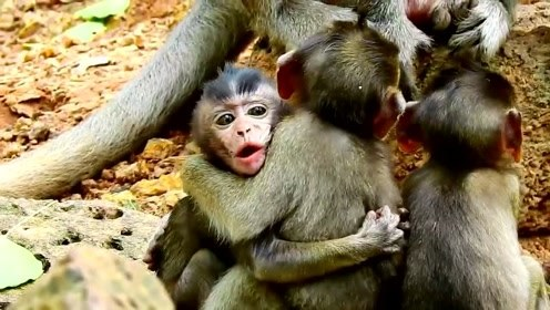 感情超好的猴子兄弟,像连体婴儿,动不动就要抱在一起