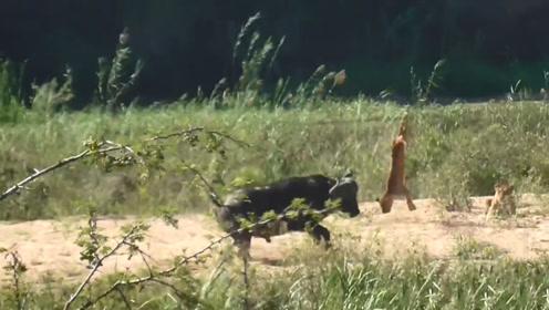 水牛路见不平拔刀相助,直接把狮子顶上天,厉害了我的牛!