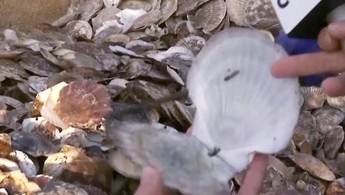 央视探访獐子岛:新捕捞的扇贝,咋就这样了?