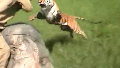 男子路过稻田,老虎突然猛蹿而出,飞身扑向男子,结果会怎样?