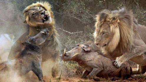 """300公斤野猪遇到""""草原之王""""狮子,谁更胜一筹,看完明白了"""