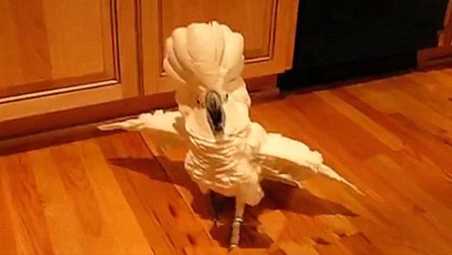 主人忘记给鹦鹉喂食,鹦鹉跑到厨房冲主人发火,看完忍住别笑!