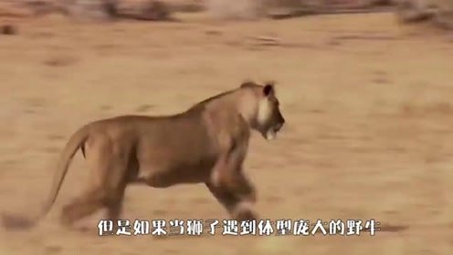 狮子猎杀水牛,水牛反抗了一会,却还是被折磨致死!