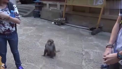 调皮猴子相中了美女的包包很久了,终于找到了机会,抱起就跑,感觉好刺激啊