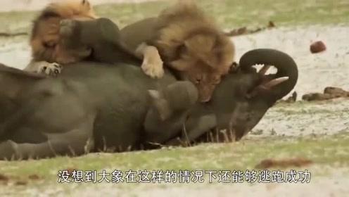 狮子捕杀大象,危急时刻大象绝地反击,一脚踹飞了狮子