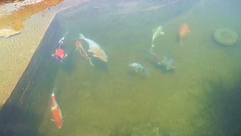 院内的露天水池,大肥锦鲤清晰可见,此时此景,真想跳水捞鱼了