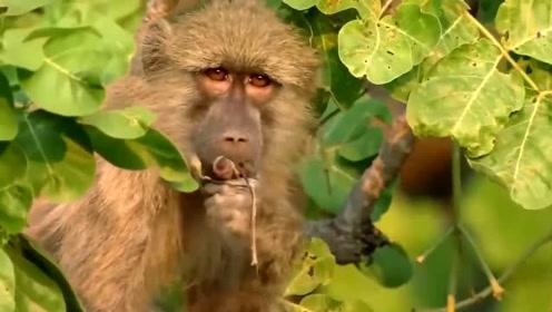猴妈只顾着吃东西,下一秒小猴瞬间被老鹰抓走,悔不当初
