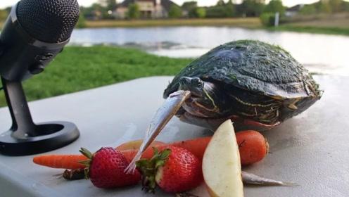 神奇的乌龟吃播,伙食比人的都要好,啃咬的声音太舒服了