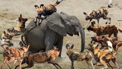 大象被十只野狗围住,本以为在劫难逃,不料象王却强势赶到