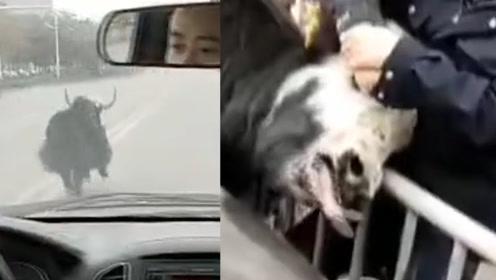 待宰牦牛越狱!公路上肆意狂奔吓坏路人和司机