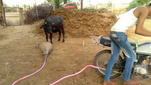 小伙太缺德!给摩托车的排气管接上大喇叭,把公牛吓了一跳!