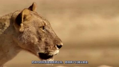 被狮子追杀,它临死前放了个有味道的大招,死也要挣回点面子