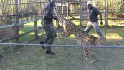 男子被猎豹咬住大腿,接下来抓住豹腿狂抡720度:大哥,我错了